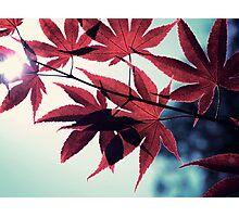 maple, japanese Photographic Print