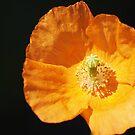 Poppy by Kat Miller