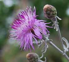 Purple Prickle by MissyD