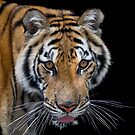 Tiger  by Anne Young