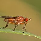 Dung Fly by Robert Abraham