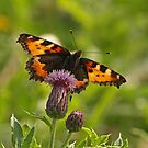 Tortoiseshell On Thistle by Robert Abraham