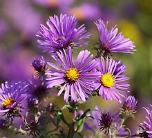 Wild Asters by Gregg Williams