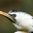 Little Pied Cormorant by David Smith