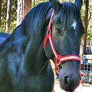 Beautiful Black Draft Horse by NancyC