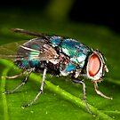 Just a Little Blue Fly!  by Luke Zappara