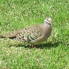 Lone Bronzewing by GemmaWiseman