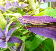 The Beauty of Thamnophis by shannon culp