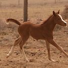 Arabian filly  by StaceyH