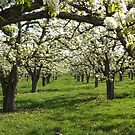 Apple Blossoms by Jeff Ashworth & Pat DeLeenheer