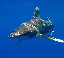 Oceanic White Tip Shark by KenByrne
