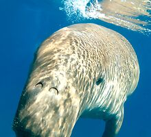 Dugong at surface by KenByrne