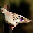 Pidgeon by Elaine Short