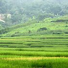 Rice paddies by ecotterell