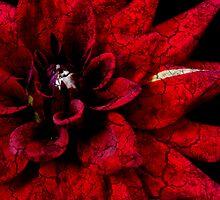 Dahlia by Simon Hackney
