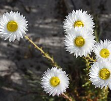 White Australian Native Wild flower Dasies by TeAnne