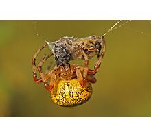 Spider With Prey Photographic Print