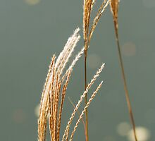 reeds in the sun by puredesign