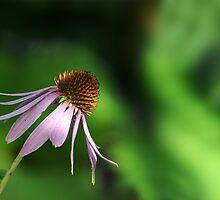 Echinacea by cherryannette