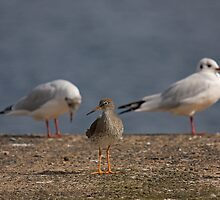 Redshank - a rose between two thorns by Jon Lees