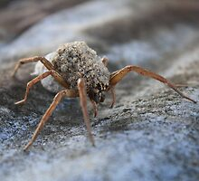 Baby Wolf Spiders by Charles Buchanan
