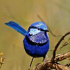 splendid fairy-wren by aa2bo