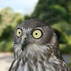 Barking owl  by Matt  Harvey