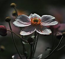 August Flowers ~ Anemones by Joanne  Bradley