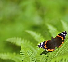 Red Admiral by noir69