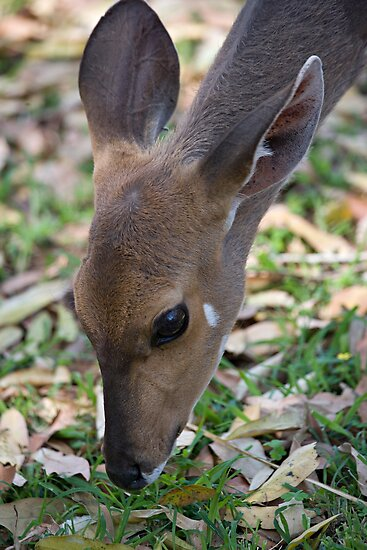 Female Bushbuck Close Up by Michael  Moss