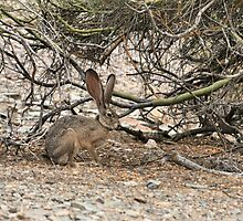 jackrabbit by jbiller