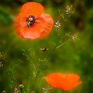 Poppy love by Louise Cooke