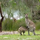 Roos at Jervis Bay by joewdwd