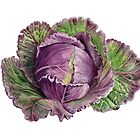 January King Cabbage by Maureen Sparling