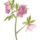 Hellebore by Maureen Sparling