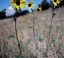 Sunflowers by katiebean