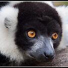 Black and white ruffed Lemur by Shaun Whiteman