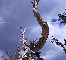 Bristle Pine Cone Tree by KeithGall