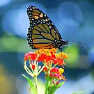 Monarch Butterfly on Scarlet Milkweed by Catherine Sherman
