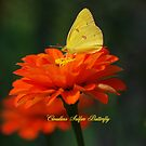 Cloudless Sulphur Butterfly on a Red Zinnia by Catherine Sherman