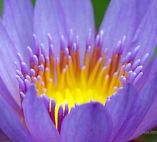 Water Lily Macro by Pam Moore