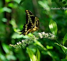 Giant Swallowtail Butterfly 2 by Catherine Sherman