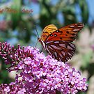 Gulf Fritillary Butterfly by Catherine Sherman