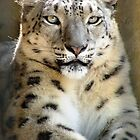 Snow Leopard by Trish Meyer
