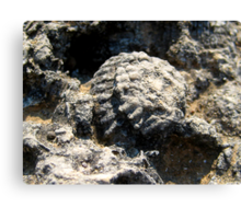 Fossil in Ancient Olympus Limestone Canvas Print