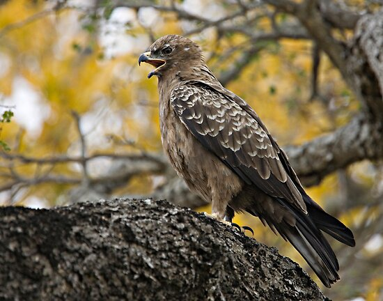 Wahlberg&#x27;s Eagle by Michael  Moss