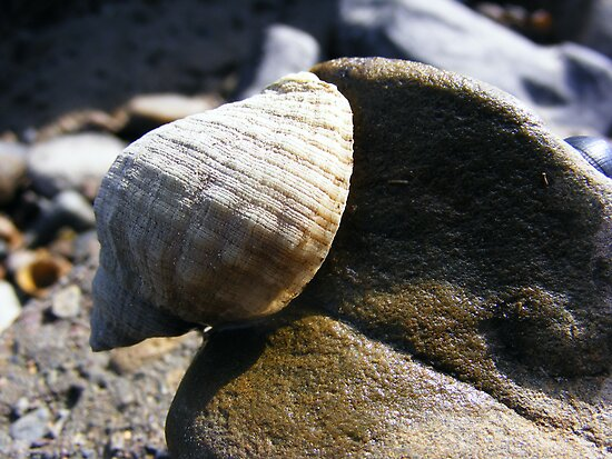 Sea snail by Esther's Art and Photography