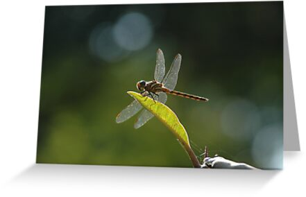 dragonfly by AravindTeki