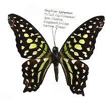 Graphium Agamemnon by Orla Cahill Photography