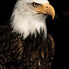 Bald eagle portrait by Carole Stevens